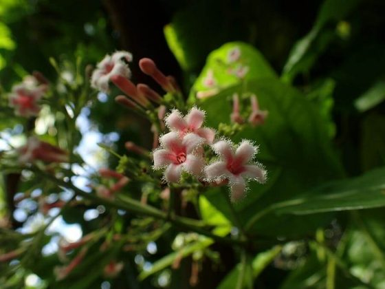 The flower of the cinchona plant