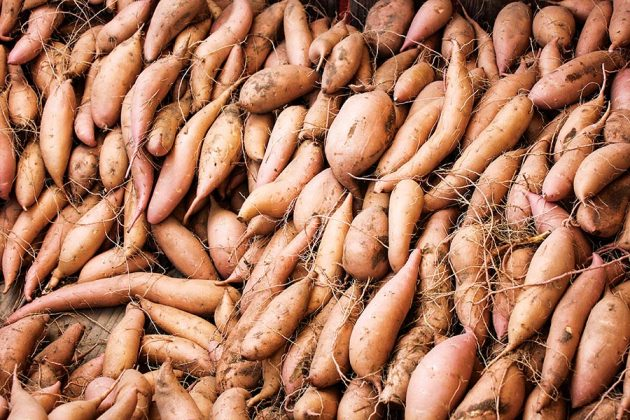 The Souza family farms 2,000 acres of sweet potato, with rye thrown in as a seasonal cover crop.